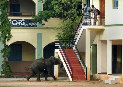 Elefantes acorralados por humanos entran a ciudad en la India